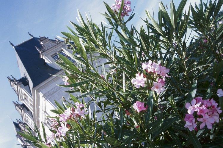 Las adelfas perfuman el aire con floraciones desde finales de la primavera hasta el verano.
