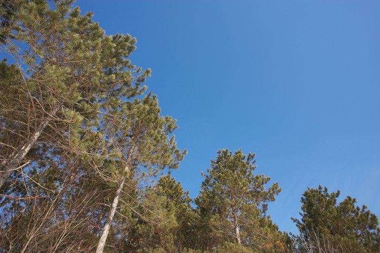 El ciclo de vida del pino comienza y termina con un árbol maduro.