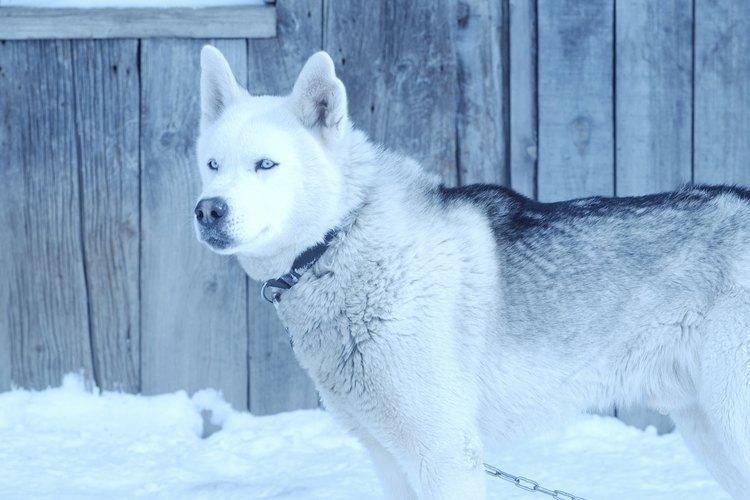 Los Huskies Siberianos son criados para climas duros y fríos.