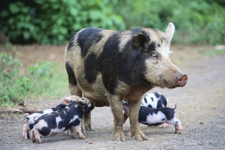 La mayoría de los cerdos criados en Estados Unidos pertenecen a una de las ocho razas.