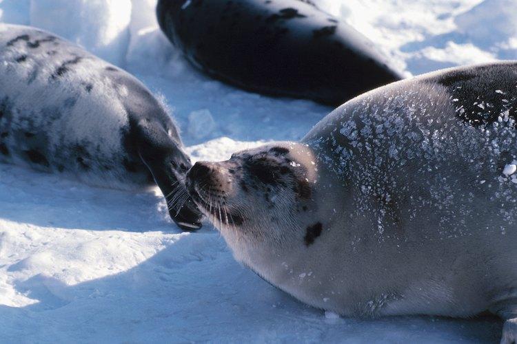 Sus cuerpos redondos y gruesas capas de grasa aíslan a los mamíferos marinos en el agua.