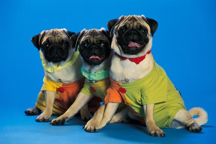 Los perros pug son adorables mascotas, pero tienden a perder mucho pelaje.