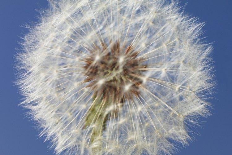 Un niño puede ayudar a la dispersión de esta flor de diente de león.