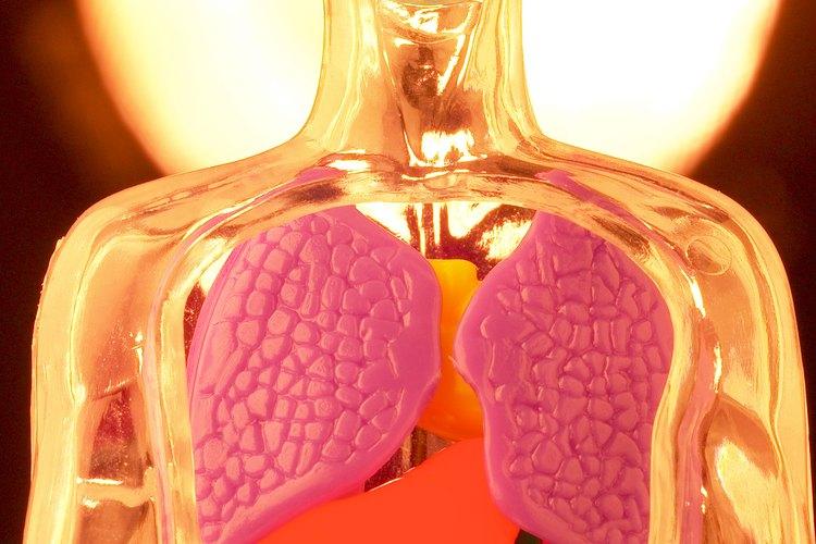 Réplica de los pulmones.