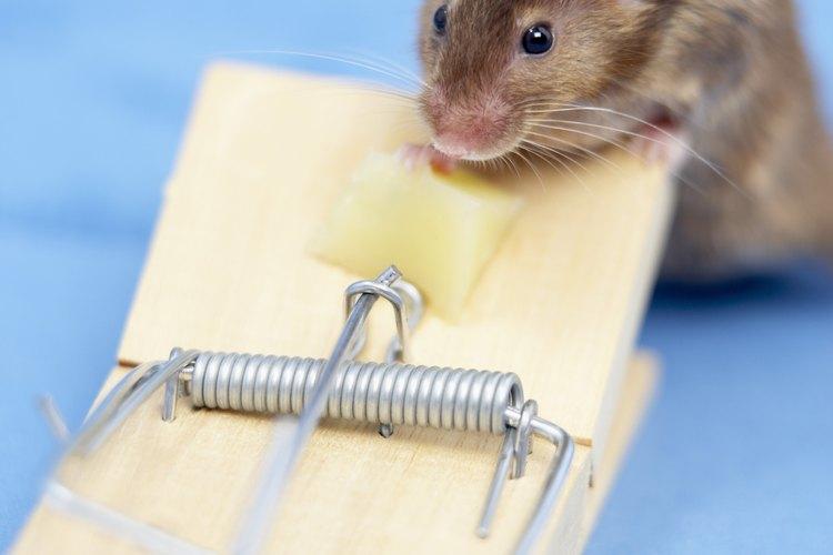Trampa de ratones con queso como cebo.