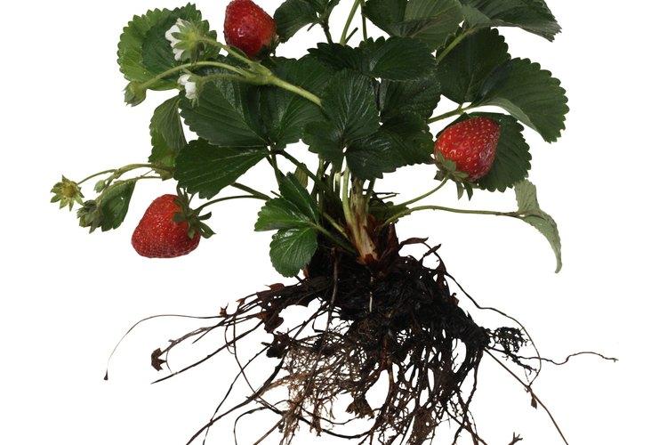 Las plantas de frutilla forman varios estolones que se transforman en nuevas plantas.