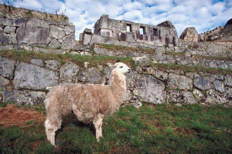 Las llamas incas se utilizaban para transporte, ropa y comida.
