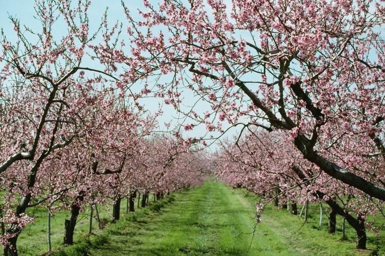 Árboles de durazno en flor.
