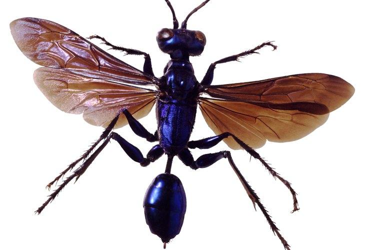 La alfarera azul roba los nidos de su prima, la alfarera negra y amarilla.