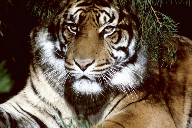 Los tigres son animales solitarios.