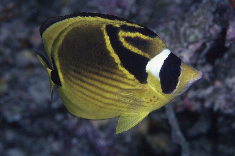 El pez mariposa disfruta de un acuario de agua salada que esté templada.