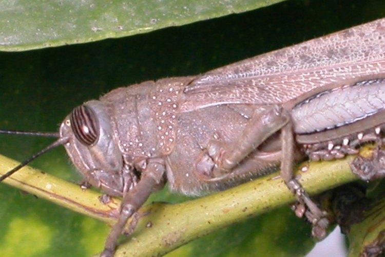Los saltamontes tienen ojos grandes y prominentes.