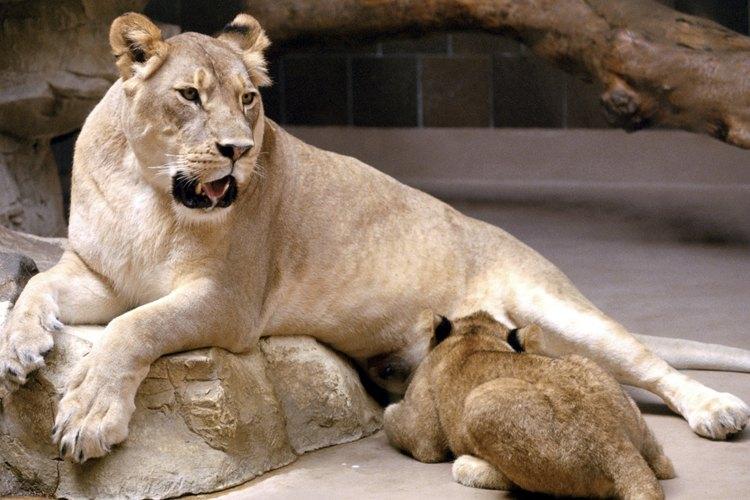 Los tigres dientes de sable están más estrechamente relacionados con los leones que con los tigres.