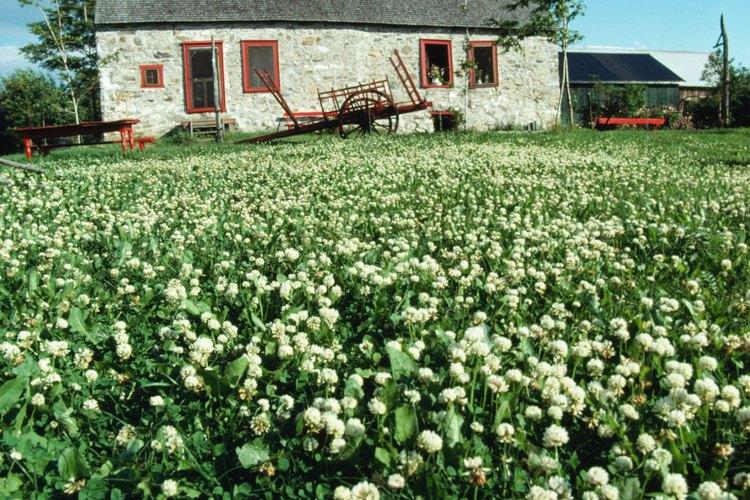 Algunos herbicidas, como el glifosato, dañan el césped así como también el trébol blanco.