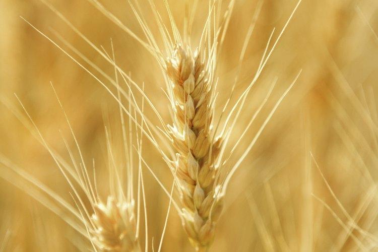 El germen de trigo es una nutritiva porción de grano entero.