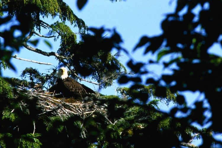 Esta águila que anida obtendrá ayuda con sus crías de su pareja de toda la vida.
