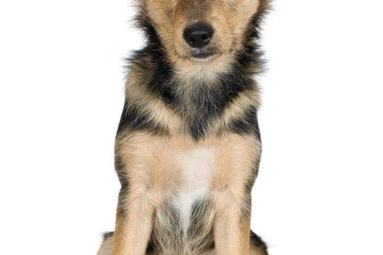 La dentición de un pastor alemán puede hacer que el cachorro muerda las cosas más de lo normal.