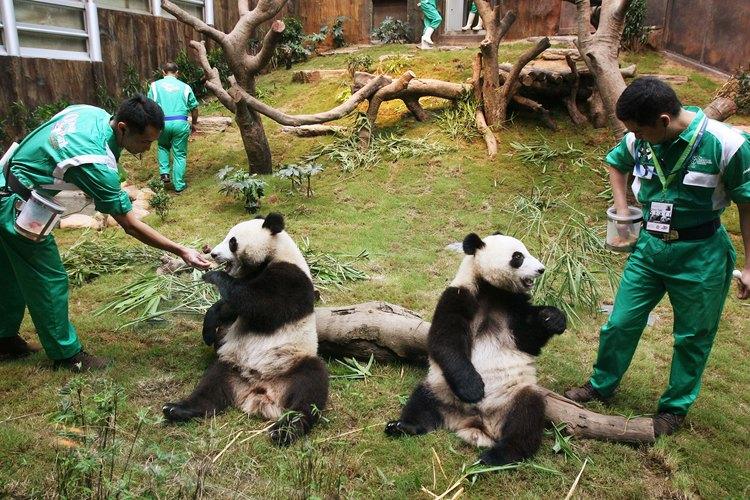 El panda gigante habita en Hong Kong.