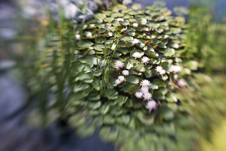 Las flores blancas de la planta de elodea llegan por encima del nivel de agua.