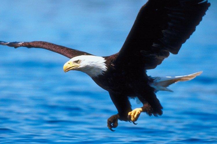 Las águilas calvas cazan o pescan a través de la superficie del agua.