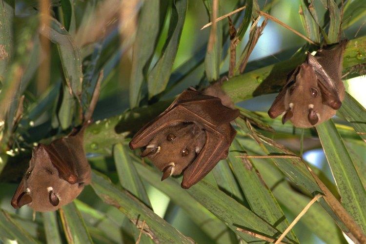 La mayoría de los murciélagos también hibernan durante el invierno, de manera similar a los osos.