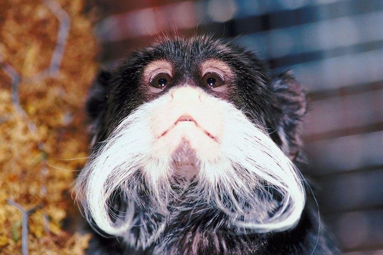 Mono tamarino.