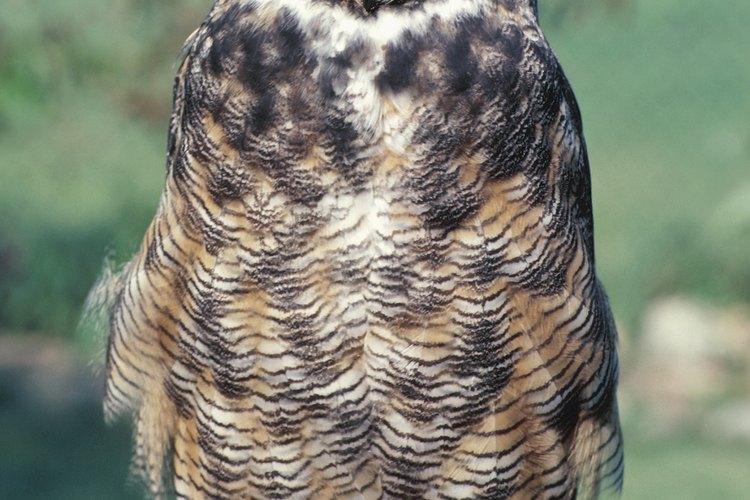 A finales del invierno, el búho cornudo podría anidar en un sauce de gran tamaño.