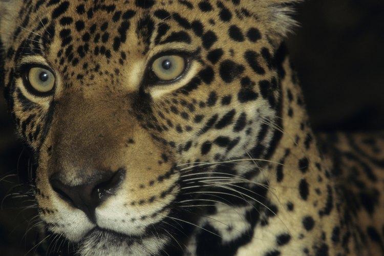 Jaguar (Panthera onca) en Brasil.