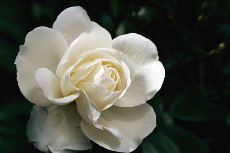 Este arbusto de rosas produce rosas blancas muy perfumadas de junio a agosto.