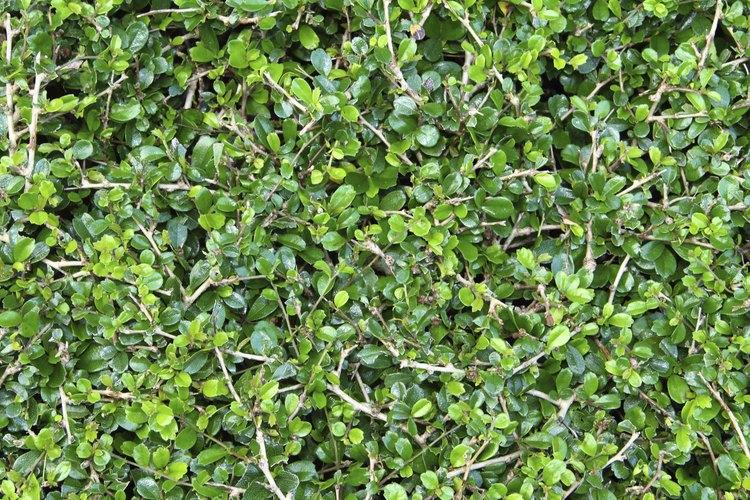 Los árboles de ébano enriquecen el suelo circundante para otras plantas.