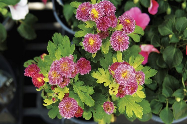 Tipos de plantas anuales de sol pleno y perennes.
