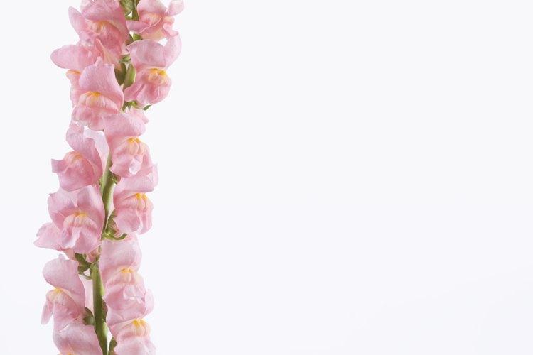 La flor boca de dragón crece en altas espigas de flores.