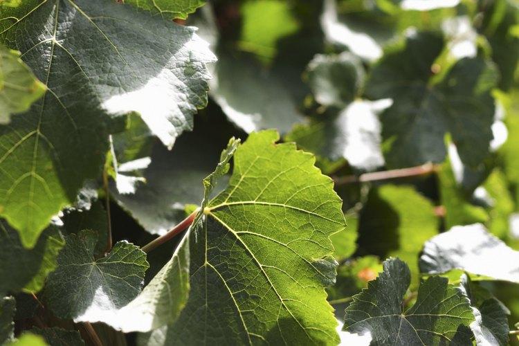 Conserva las hojas de  la planta de uva o parra en salmuera para su posterior uso.