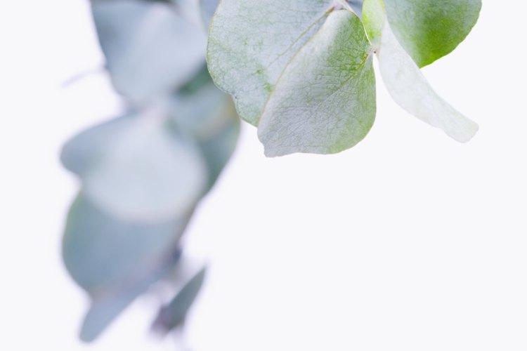 El eucalipto se utiliza en aerosoles naturales para el cabello.