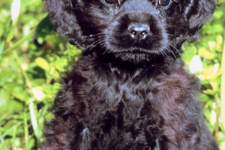 Los cocker spaniel son perros populares de familia.