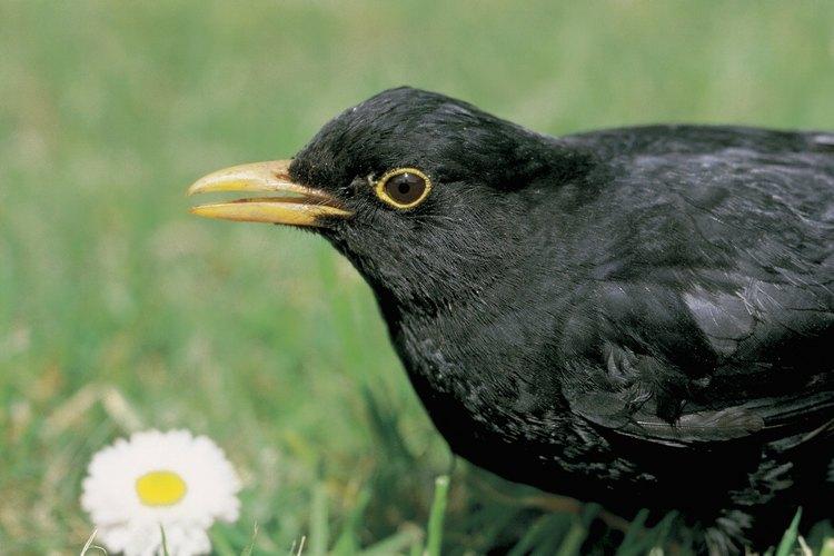 Muchas especies de aves, como el mirlo, pueden ser identificadas por sus picos amarillos.