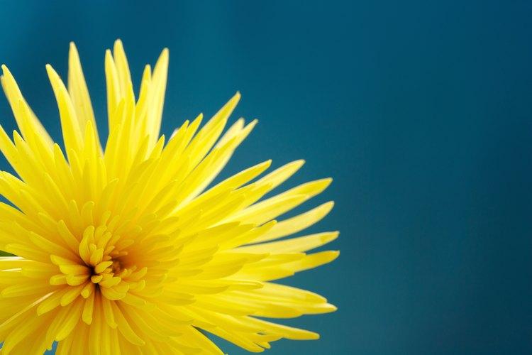 Los crisantemos están entre las flores cortadas de larga duración.