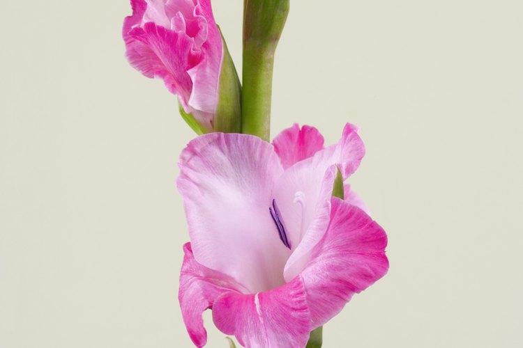 Los gladiolos vienen en un amplio rango de cultivares, floreciendo en un tallo alto, a veces de hasta 4 pies (1,20 m).