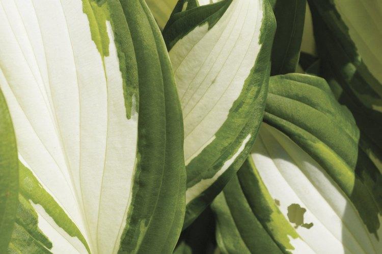 Las hostas con blanco en sus hojas necesitan sombra.