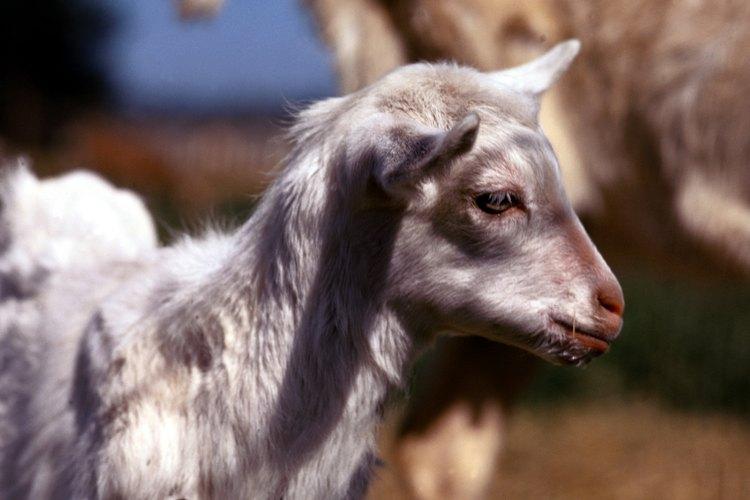 Las cabras bebé necesitan alimentarse con leche por dos o tres meses después de su nacimiento.