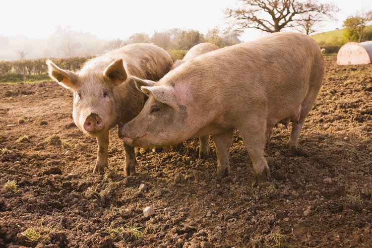 Dos cerdos blancos en un corral.