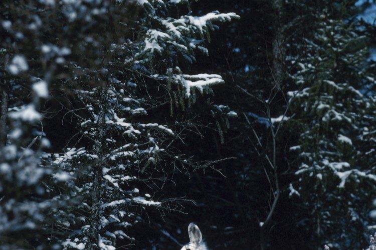 La liebre ártica cambia de blanco en el invierno, para integrarse en la nieve, a gris-marrón en el verano, para que coincida con la hierba y las hojas.
