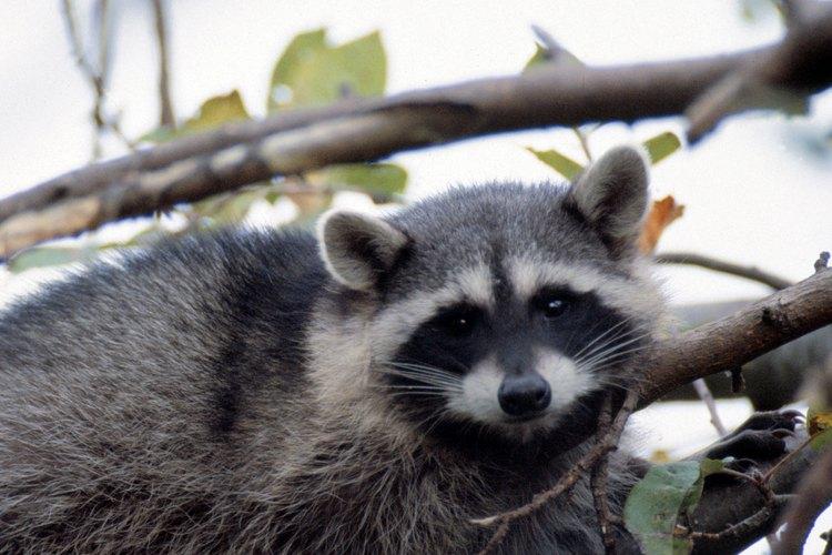 Los árboles proporcionan abrigo para muchas clases de animales, tal como los mapaches.