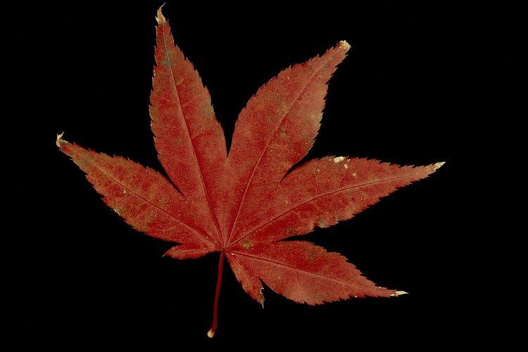 El arce bloodgood japonés tiene un follaje rojo toda la temporada de crecimiento.