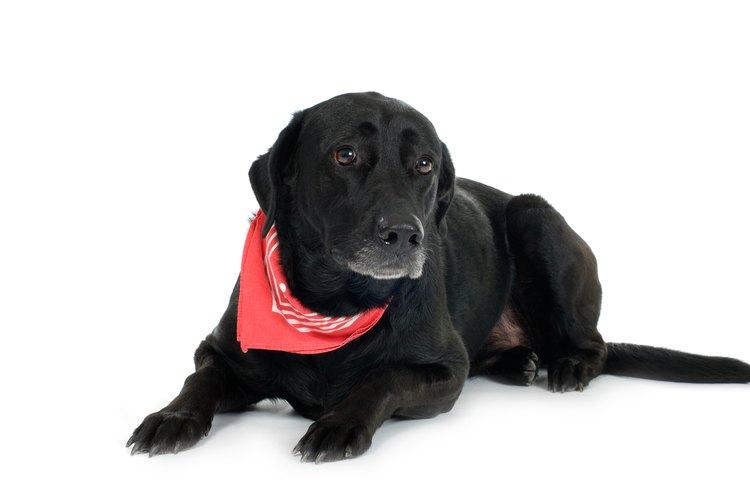 Un perro usando un pañuelo de algodón.