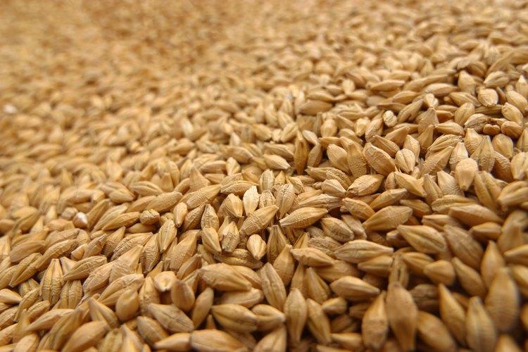 El salvado de trigo constituye la capa más externa del grano de trigo.