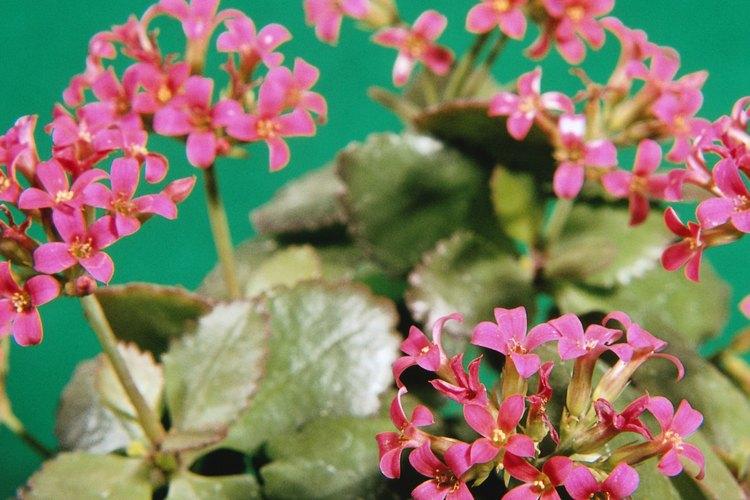 La planta kalanchoe florece en racimos pequeños.
