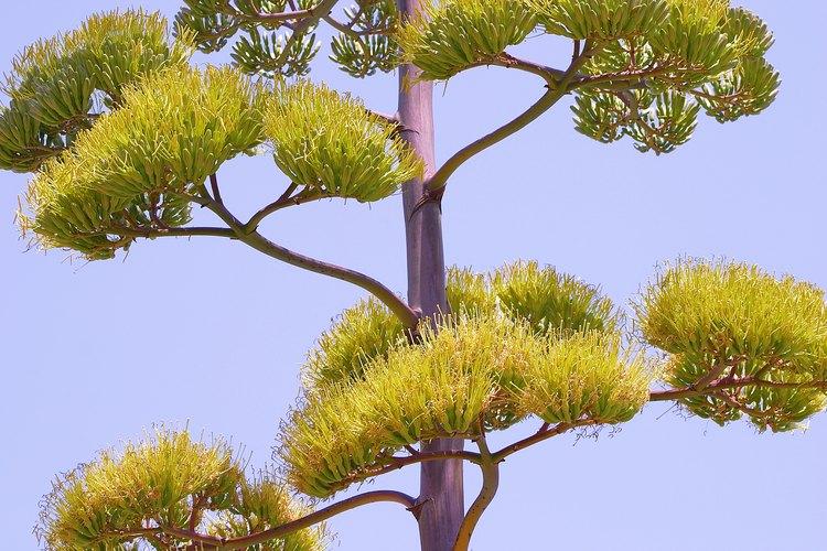 Cúmulos de diminutas flores tubulares en una inflorescencia de agave.