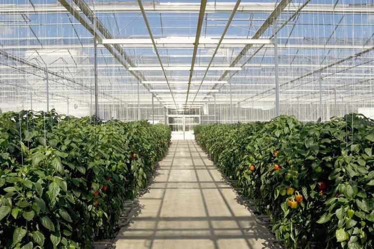 Los invernaderos tienen un techo transparente que permite el espacio para recoger la luz solar y el calor y dejar que un mínimo de luz y calor se escape.