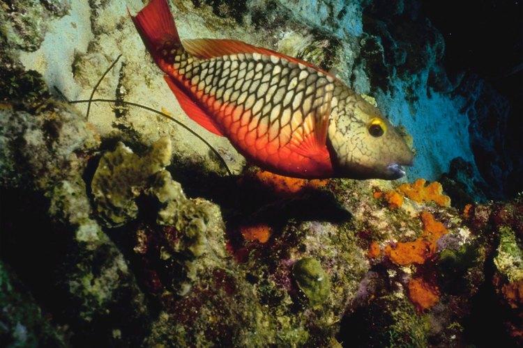 El blanquillo vive en cañones en el arrecife continental.